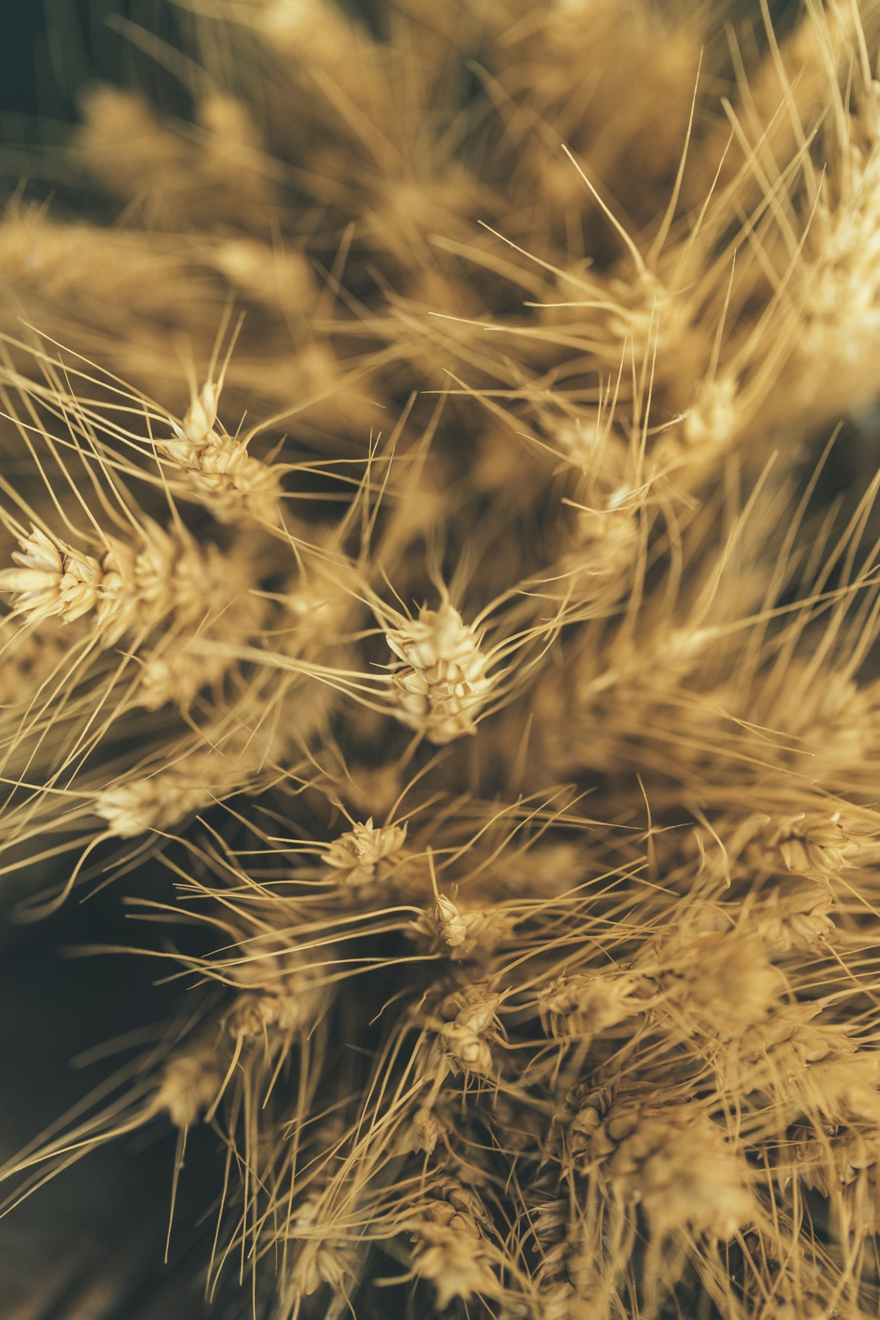 Dry Turkey Red Wheat